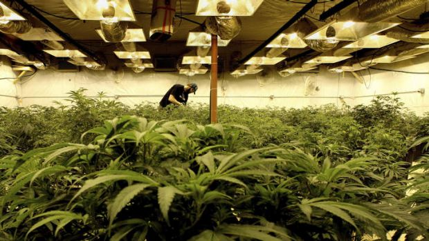 """Stuck in the weeds: Even Colorado's """"ganjapreneurs"""" are hazy on when the first legal cannabis will be sold in Colorado."""
