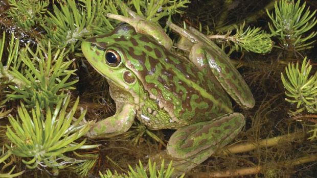 Fight for survival: Yellow-spotted bell frog.