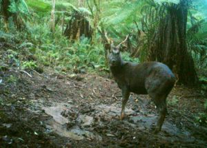 A remote infra-red camera captures sambar deer wreaking havoc in Sherbrooke Forest.
