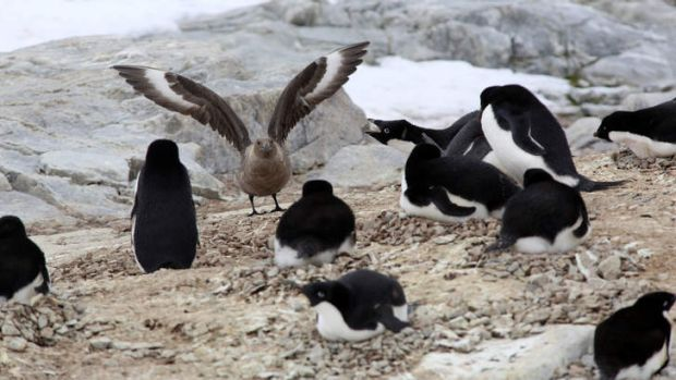 The penguins react as a skua tries to snag an egg.