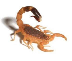 Choose your poison: Compounds in scorpion venom found to alleviate pain could be used in future painkillers.