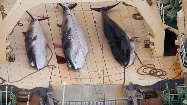 A Sea Seaherd helicopter has collected graphic images of whales being processed on the deck of a Japanese vessel in ...