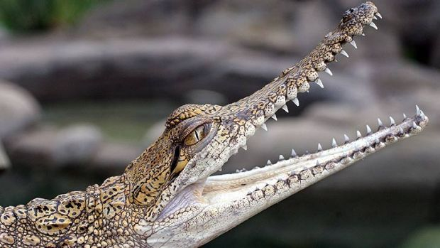 Baby freshwater crocodiles were thrown into a Mount Isa pool as a prank.