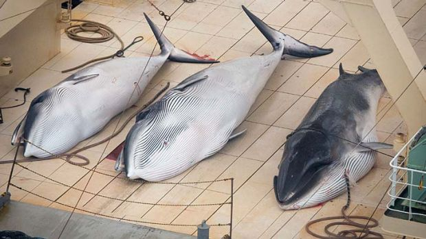 Three minke whales lie dead on the deck of the Japanese factory ship Nisshin Maru inside a Southern Ocean sanctuary, ...