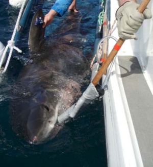 A juvenile white shark with a tag on the dorsal fin, ready for release.