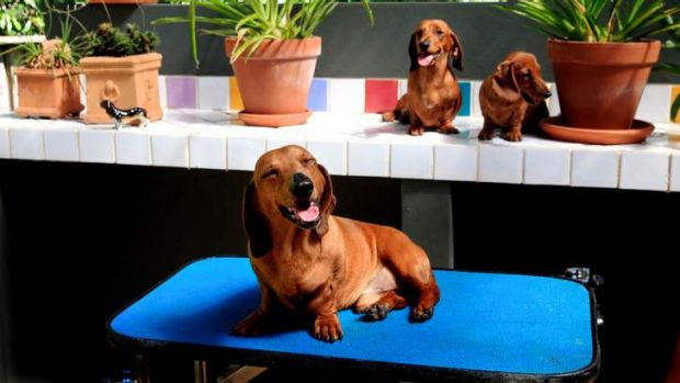 For old time's sake: The dachshund was incredibly popular in the 1960s, and is now coming back into vogue, possibly ...