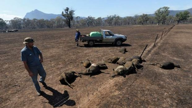 David Schmidt inspects burnt sheep on his property near Wartook. He estimates he lost between 1800 and 2000 sheep.