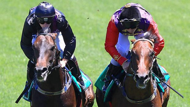 """""""Magnificent animal"""": Fiorente (left) takes part in an exhibition gallop at Randwick on Saturday. """"His stride has ..."""