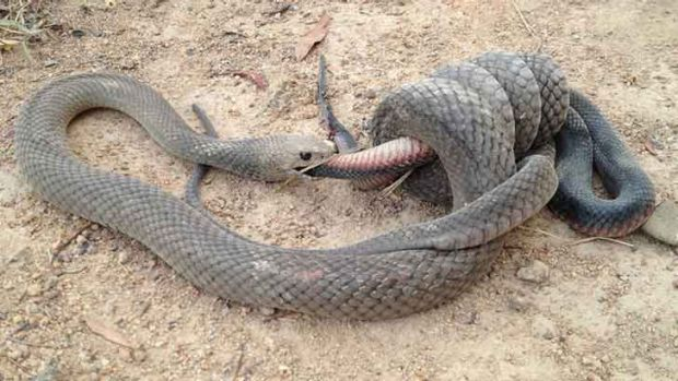 A snake-eat-snake world.... Gavin Fletcher took this photo at Stranger Pond in Bonython.