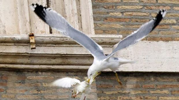 One of the peace doves is attacked by a seagull.