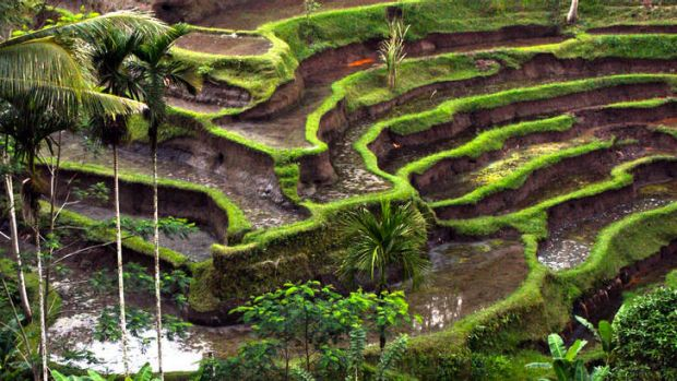 Stairway to heaven … rice terraces just outside Ubud, a Balinese tourist destination that swaps swim-up bars for navel ...