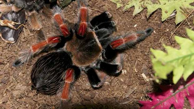 The South American bird spider police say they found in Dee Why home.