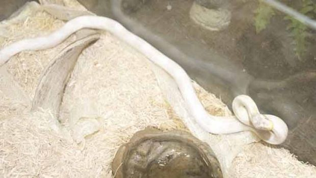 The albino python police say they found at a home in Dee Why.