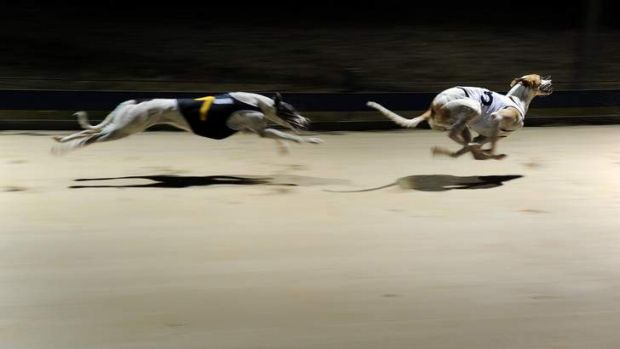 Running for their lives: Hundreds of unsuccessful but healthy greyhounds are killed each year.