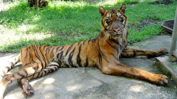 Sick Sumatran tiger Melani, who is painfully thin and dying from a digestive illness at Surabaya Zoo. Her trainer, ...