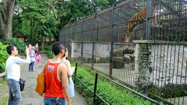 Visitors to Surabaya Zoo look at Bengal Tigers in old cages built in approximately the 1920s.