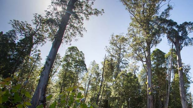 Hopes de-listing will be rebuffed: Trees lining a forestry road in a recently World Heritage-listed area in southern ...