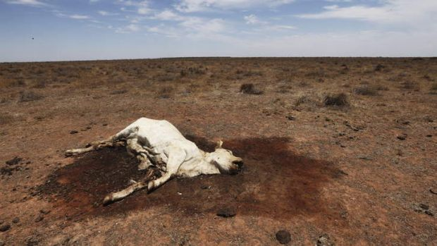 Deadly sickness: A cow that died of 3D syndrome on Barwonnie Station, near Ivanhoe.