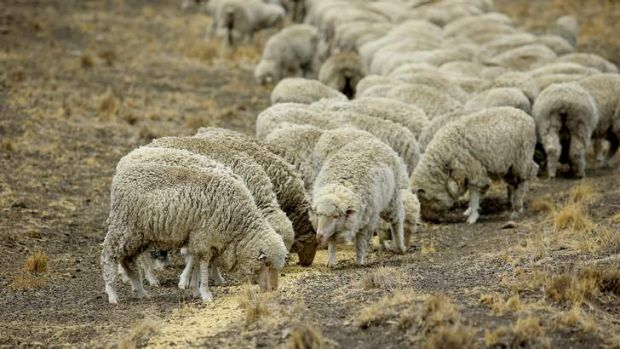 Graziers' emergency: Sheep eat feed given to them so they survive the drought affecting NSW.