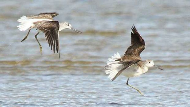 Greenshanks fly from the Arctic to Perth and back every year.