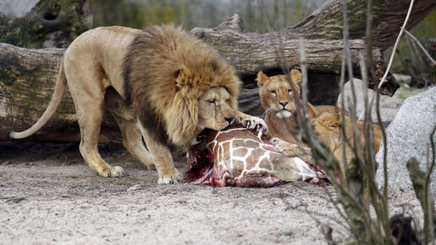 The carcass of Marius, a male giraffe, is eaten by lions after he was put down in Copenhagen Zoo.