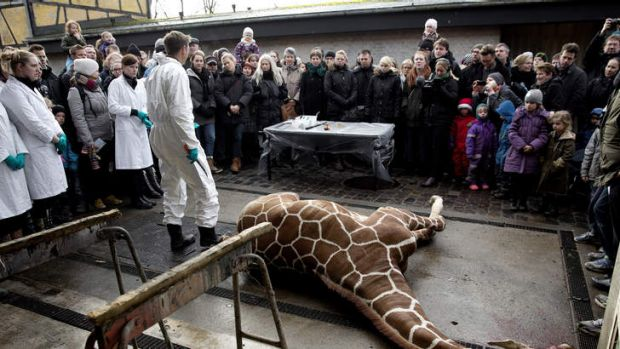 Marius, a male giraffe, lies dead before being dissected,.