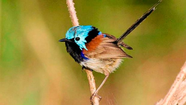 Researchers measured many types of birds, including the variegated fairy-wren, and concluded he birds were adapting to ...