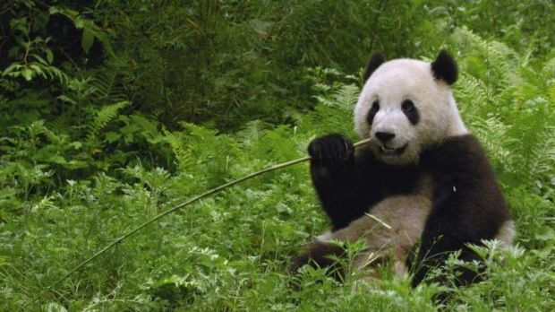 A giant panda in Wolong Reserve, Sichuan Province, China.