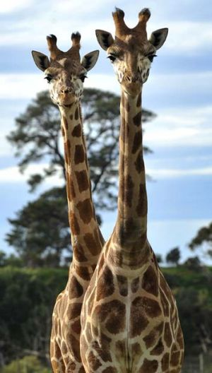 Zoo ethics: Euthanasia of some animals inside zoos is said to be routine but either invisible or unremarked.