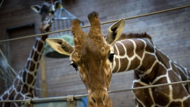 Killed last week: Marius the giraffe, at Copenhagen Zoo.