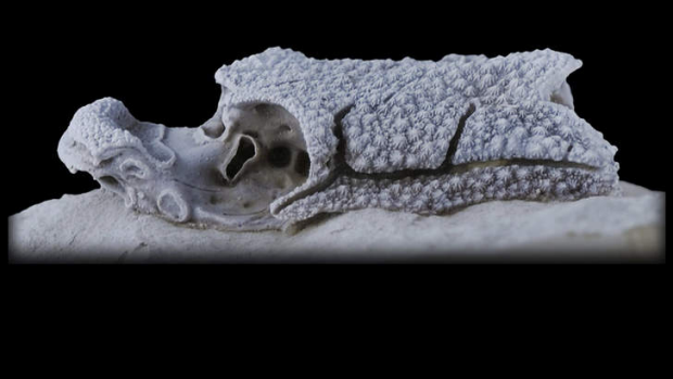 A skull of Romundina, one of the earliest jawed fish