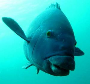 At risk: The blue groper could be targeted by fishers.