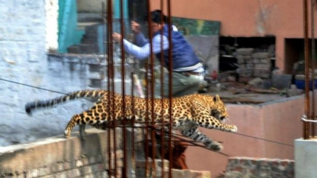 A leopard leaps across an under-construction structure near a furniture market in the Degumpur residential area as a ...