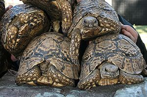 South African leopard tortoises.