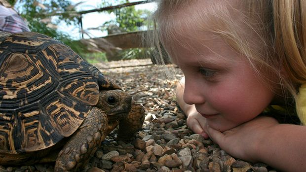 South African leopard tortoises. Courtesy Shoalhaven Zoo
