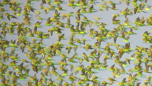 A murmuration of budgies. Why don't they fly into each other?