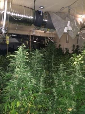 Huge haul ... Police allegedly located 340 cannabis plants, with an estimated potential street value of $1 million, ...