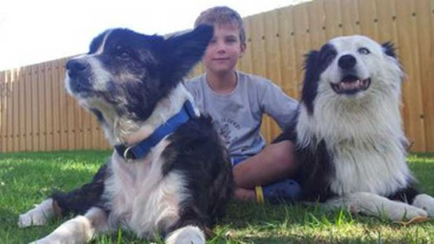 Sam the collie safe at home again with Kai Cummings and the family's other dog Billy.