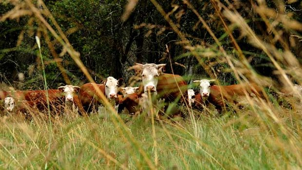 Local cattlemen support the trial, saying grazing in the park is part of their long-standing cultural heritage.