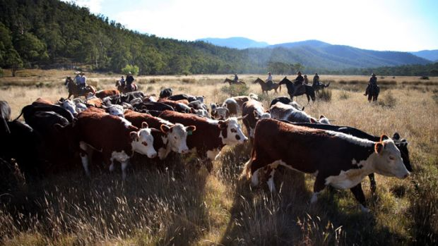 Cattle at the Wonnangatta trial site.