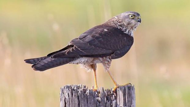A brown goshawk searches for prey from the vantage of a fence post.
