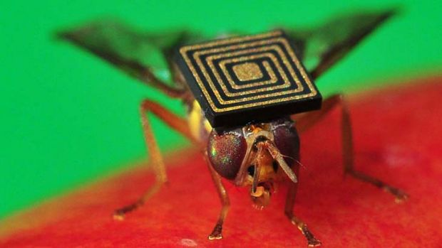 Micro sensing technology on Queensland fruit fly will help scientists manage this damaging pest.