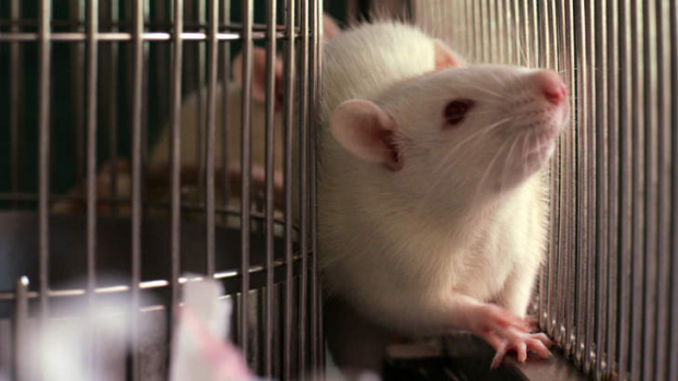 Rat for animal testing.
