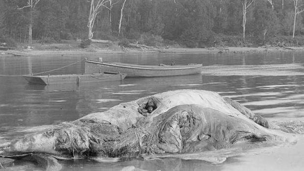 Recommended stay 30 hours: Rheumatism sufferer Bob Wiles in the carcass of a whale at Twofold Bay, Eden.