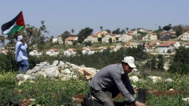A Palestinian man plants an olive tree near the Israeli settlement of Mevo Dothan in the occupied West Bank to mark Land ...