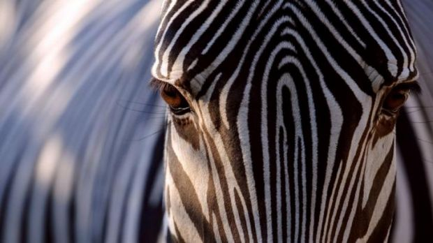 Hiding in plain sight: Zebras have stripes to deter biting insects, scientists say.