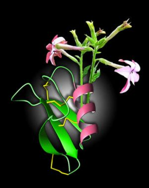 Line of defence: The flower of the ornamental tobacco plant and the structure of the molecule NaD1, which scientists say ...
