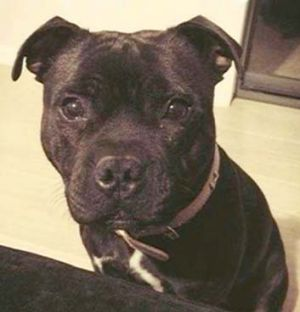 The black Staffordshire terrier.