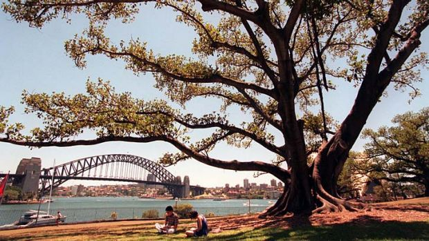 A large Moreton Bay fig tree.