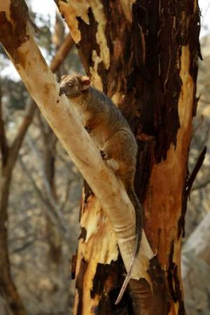 Ringtail Possum in a tree